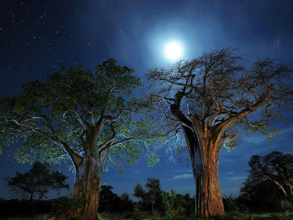 درختان Baobab عکاس: Tom Schwabel مکان: تانزانیا عکاسی در شب به نوردهی (اکسپوژر) طولانی نیازمند است و به همین خاطر باید در طول زمانی که شاتر باز است، دوربین را روی سهپایه قرار دهید تا عکسهای بدون نویز و باکیفیت ثبت شوند. اما اگر سهپایه همراه ندارید، دوربین را روی سطح مطمئنی قرار داده و سلف تایمر آن را روشن کنید تا بدون هیچگونه لرزشی، عکس بگیرید.
