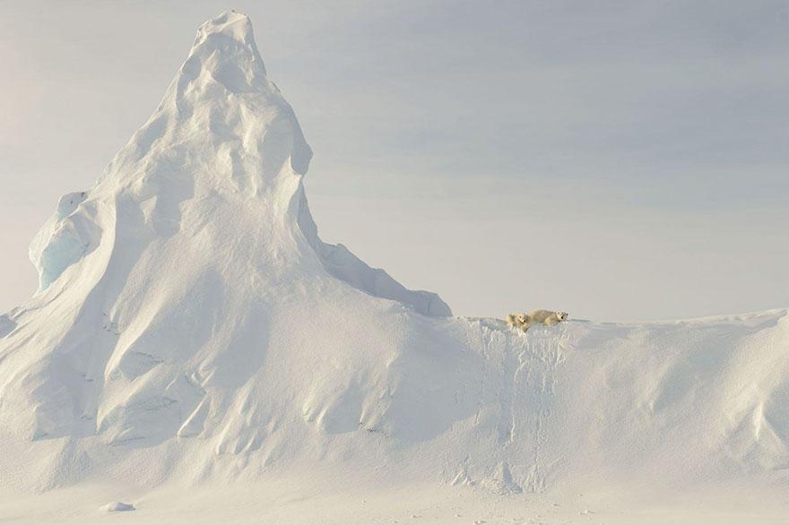 خرسها در یخ - کانادا موضوع: طبیعت عکاس: John Rollins