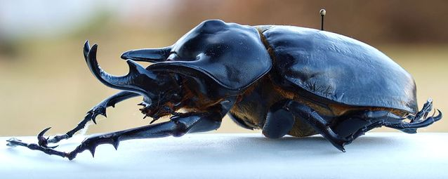acteon-beetle.jpg.638x0_q80_crop-smart