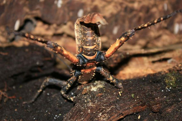 giant-walking-stick-insect.jpg.638x0_q80_crop-smart-w600