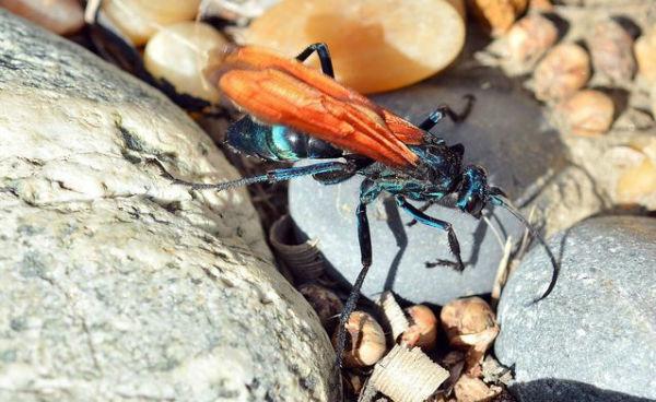 tarantula-hawk-wasp.jpg.638x0_q80_crop-smart-w600