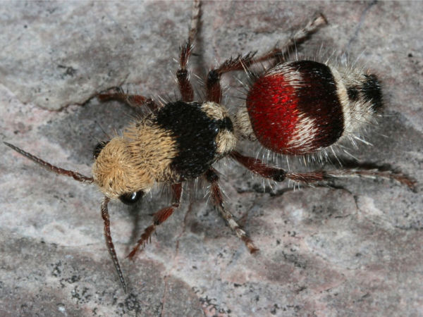 velvet-ant-technically-a-wasp-w600