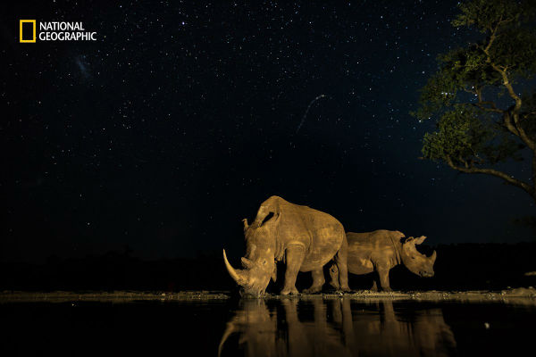 2-endangered-rhinos-pause-for-a-drink-under-the-stars-in-south-africa-w600