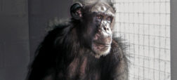chimpanzeesunnatural-main-w600