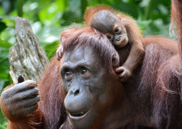 newborn-orangutan-at-singapore-zoo-w600
