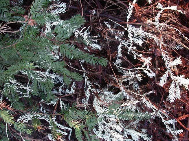 redwood-needles-green-brown-albino-jpg-838x0_q80