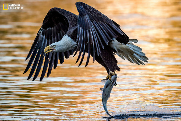 a-bald-eagle-plucks-an-unsuspecting-victim-out-of-the-susquehanna-river-w600