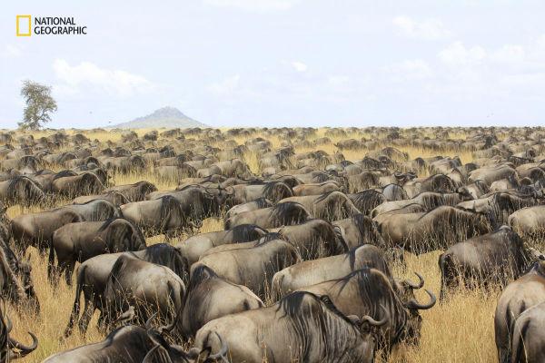 a-herd-of-wildebeest-roam-through-the-serengeti-in-tanzania-w600