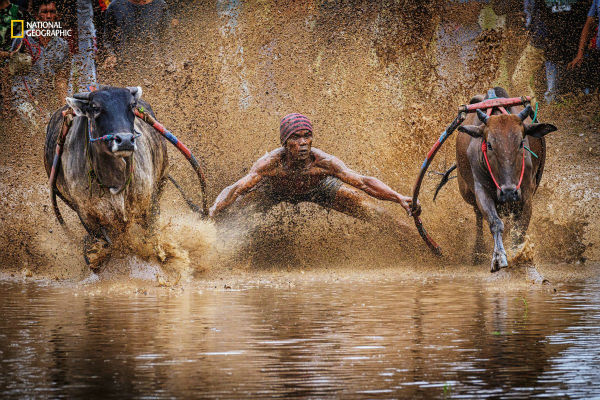 a-jockey-grips-his-harnesses-while-taking-part-in-pacu-jawi-indonesian-bull-racing-if-he-is-fast-his-bulls-will-sell-for-a-higher-price-w600