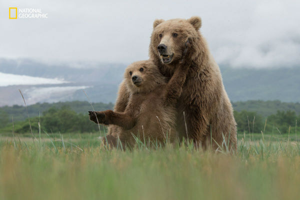 a-mother-and-cub-frolic-in-the-fields-of-katmai-alaska-w600