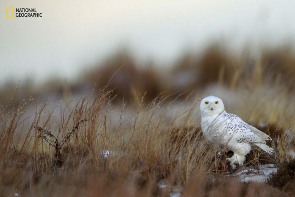 a-snowy-owl-peers-suspiciously-as-it-stands-over-its-prey-on-jones-beach-new-york-w600