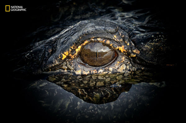 an-alligator-poses-for-his-close-up-in-apopka-florida-w600