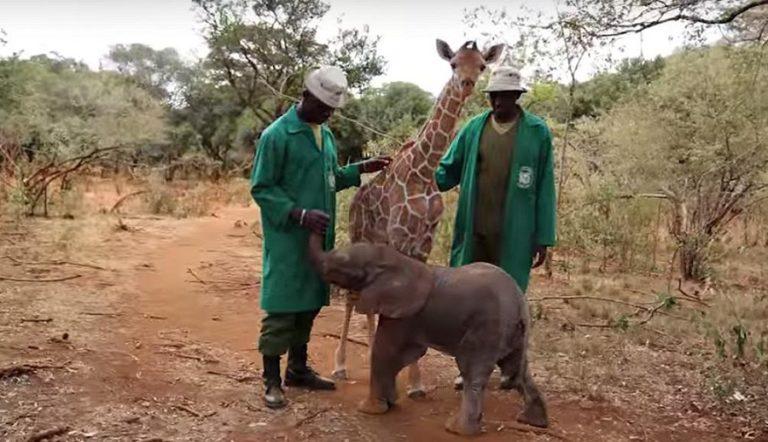 دوستی جالب فیل و زرافه [تماشا کنید]