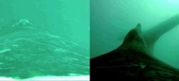 با دوربینی جدید می توان لذت سواری گرفتن از نهنگ را مشاهده کرد [تماشا کنید]