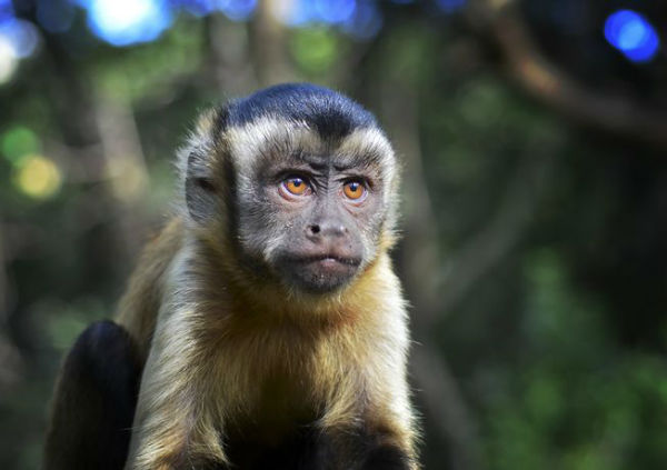 monkeyfacts-capuchin.jpg.653x0_q80_crop-smart-w600