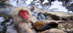monkeyfacts-snowmonkey.jpg.653x0_q80_crop-smart-w600