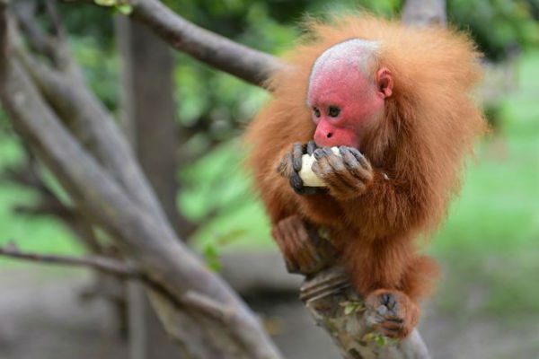 monkeyfacts-uakari.jpg.653x0_q80_crop-smart-w600