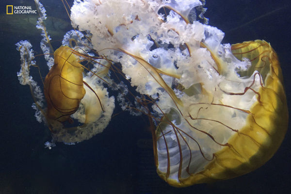 this-gorgeous-shot-shows-jellyfish-floating-eerily-around-their-tank-in-an-aquarium-in-new-jersey-w600