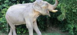 فیل بدشانس بعد از تحمل ۵۰ سال درد و رنج در هند نجات یافت
