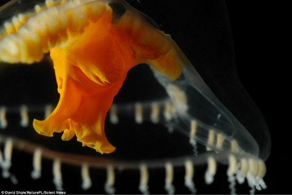 جانور شفافی مانند عروس دریایی هیدرومِدوسان را در اقیانوس آتلانتیک مشاهده می کنید