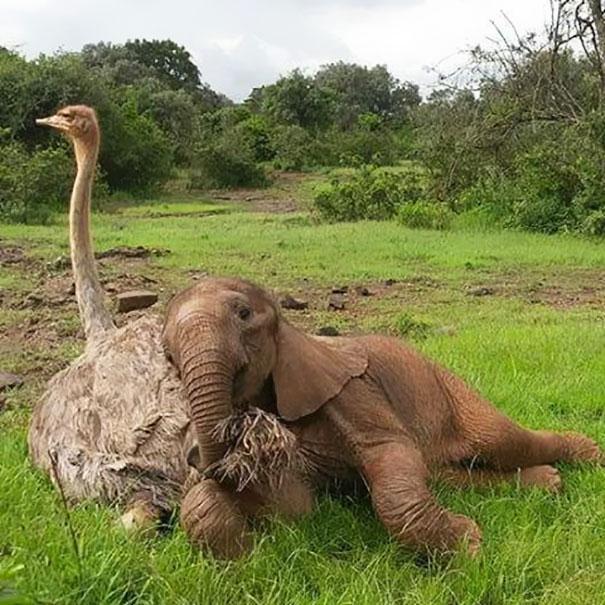وقتی یک فیل و شترمرغ، یار غار هم می شوند
