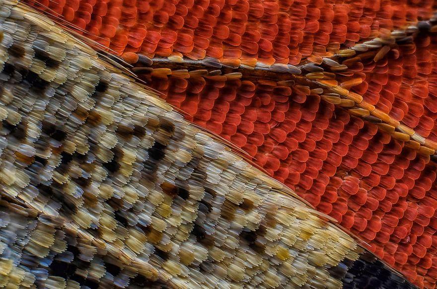 رتبه هفدهم: بخش زیرین بال پروانه