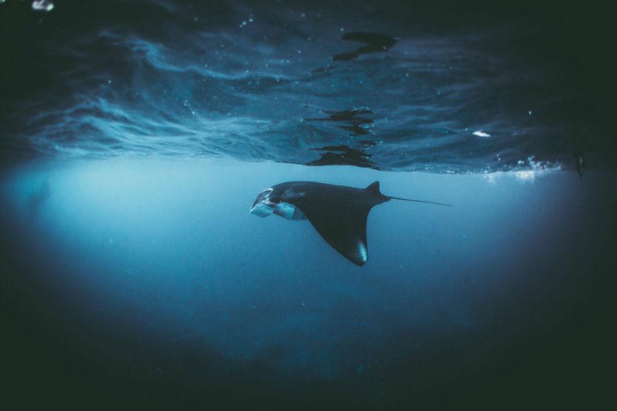 در این تصویر شاهد شنای سفره ماهی در اقیانوس هند در سواحل اندونزی هستید.