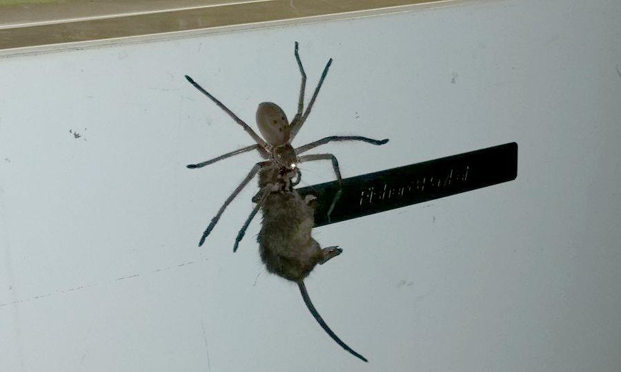 تلاش عنکبوت شکارچی غول پیکر برای خوردن یک موش در استرالیا [تماشا کنید]