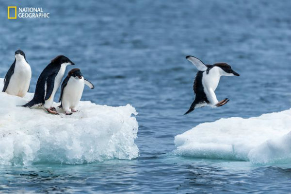 adelie-penguin-jumping-between-ice-floes-w600