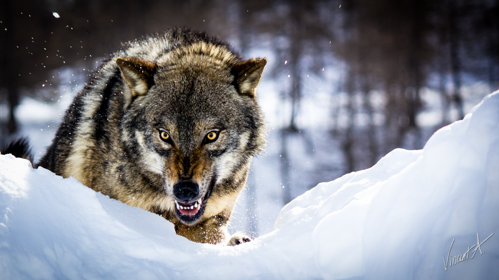angry-wolf