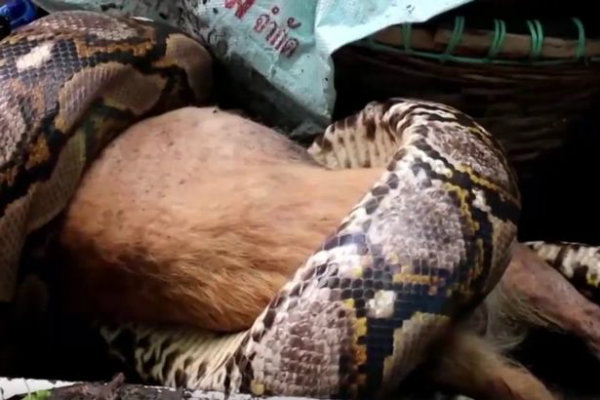 pay-klomphan-khiewwan-found-her-dog-fino-half-eaten-by-a-python-3-w600
