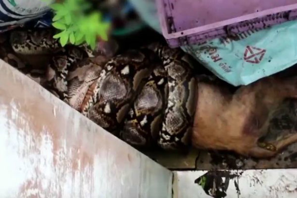 pay-klomphan-khiewwan-found-her-dog-fino-half-eaten-by-a-python-w600