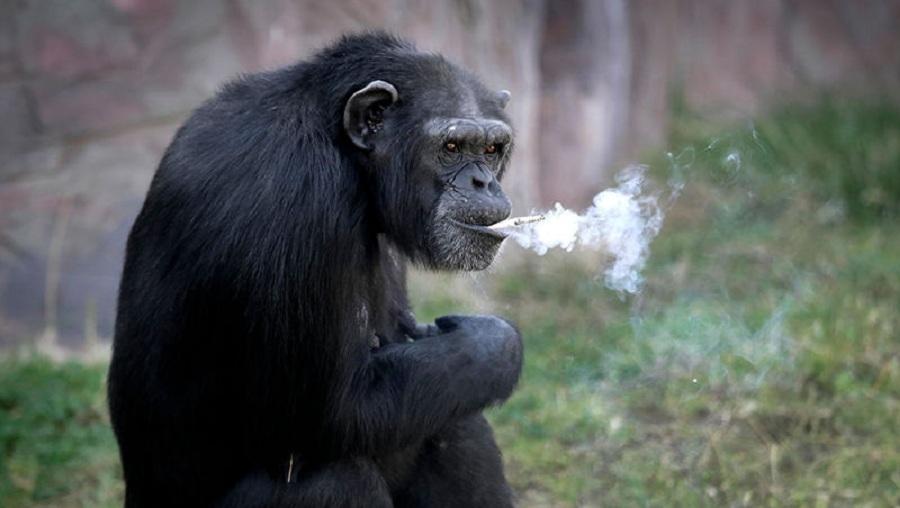 شامپانزه ای که روزی یک پاگت سیگار دود می کند