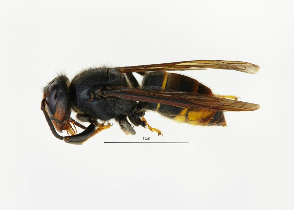Undated handout photo issued by Defra of an Asian hornet found in the Tetbury area of Gloucestershire, where work is now under way to find and destroy any nests belonging to the non-native species. PRESS ASSOCIATION Photo. Issue date: Tuesday September 20, 2016. Experts said the Asian species, which at up to 2.5cm (one inch) long is smaller than native European hornets, pose no greater risk to human health than bees. See PA story ENVIRONMENT Hornet. Photo credit should read: David Crossley/Defra/PA Wire NOTE TO EDITORS: This handout photo may only be used in for editorial reporting purposes for the contemporaneous illustration of events, things or the people in the image or facts mentioned in the caption. Reuse of the picture may require further permission from the copyright holder.