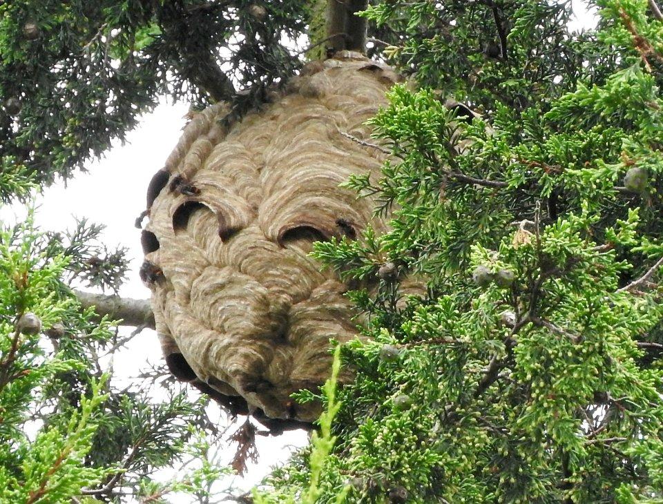 """وحشت از کشف نخستین کندوی """"زنبور سرخ"""" در بریتانیا"""