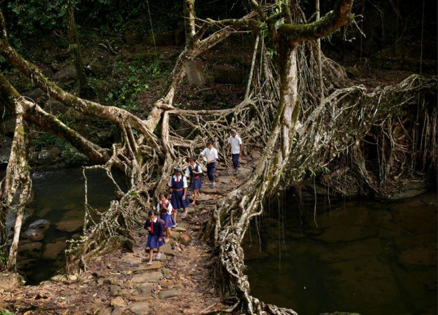 پل ریشه زنده درخت، هند