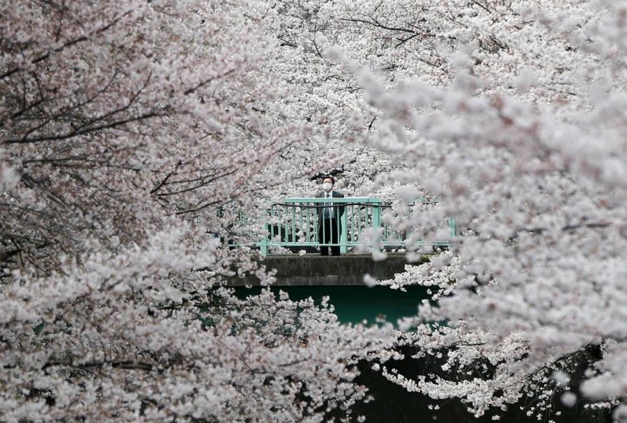 مردی در حال تماشای شکوفه های گیلاس در توکیو، ژاپن - 10 آوریل 2016
