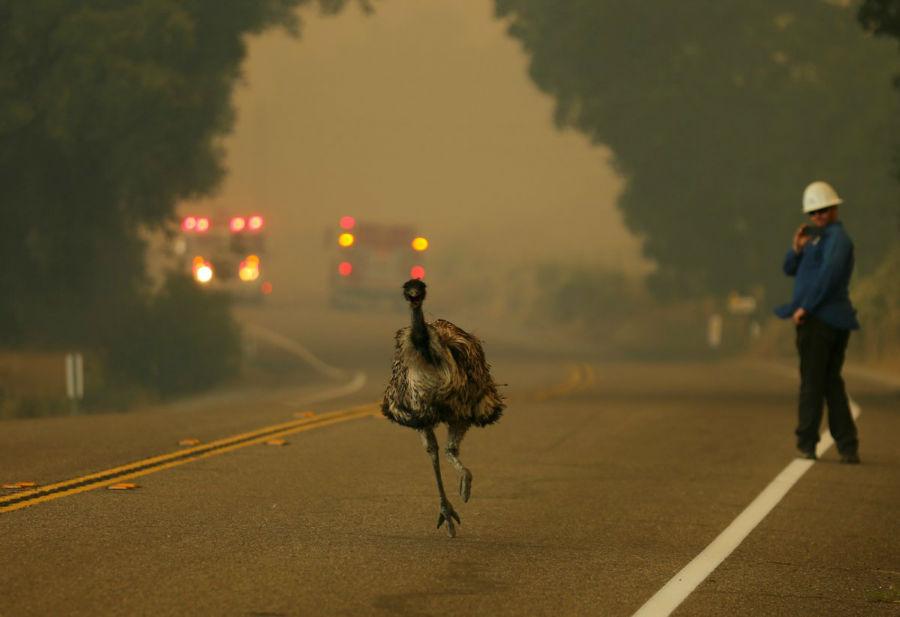 شترمرغی در حال فرار میان آتش سوزی پوتریرو در کالیفرنیا - 20 ژوئن