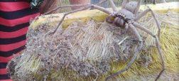 تصاویر این عنکبوت شکارچی غول پیکر در فضای اینترنت پر مخاطب شده است