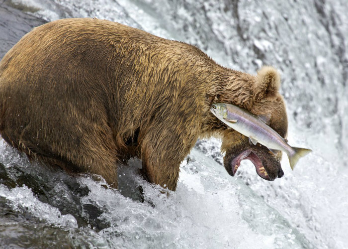 highly-commended-grizzly-bear-fail-rob-kroenert-w700
