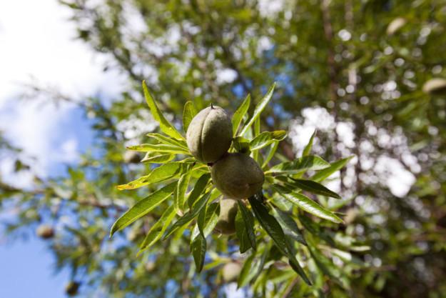 بادام در واقع هسته یک میوه است که به تدریج چوبی شده و شکل بادام به خود می گیرد.