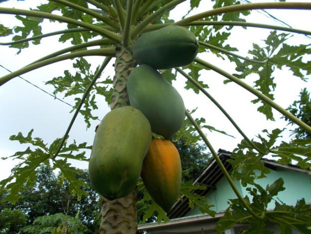 پاپایا همانند موز روی درخت و به صورت خوشه ای رشد می کند.