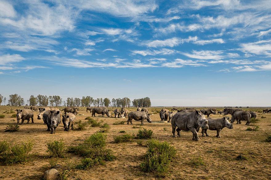 17- این کرگدن ها که در مزرعه ای در جنوب آفریقا قرار دارند، به تازگی شاخ هایشان بریده شده. برخلاف عاج فیل ها، شاخ کرگدن ها وقتی به طور کامل بریده می شوند، دوباره رشد می کنند. دامداران این شاخ ها را جمع آوری و انبار می کنند به امید روزی که بتوانند آنها را به صورت قانونی به فروش برسانند.