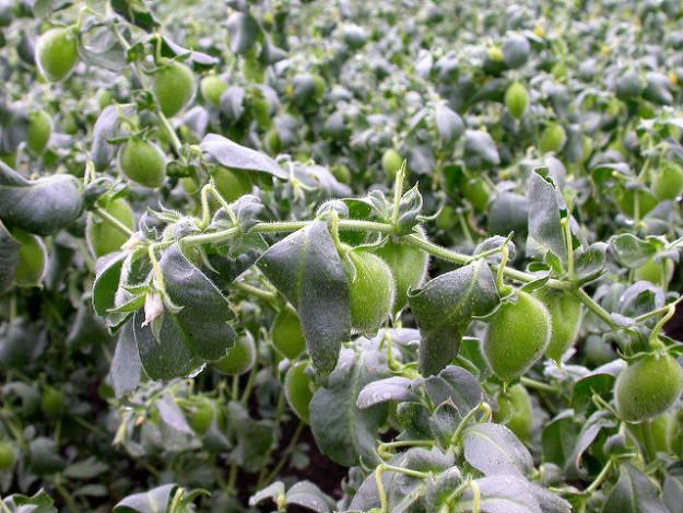 نخود درون پوسته های سبز پرزدار بوته های رونده رشد می کند.