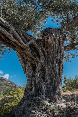 زیتون روی درخت های عجیبی رشد کرده که با تکاندن شاخه های آن می توان آنها را چید.