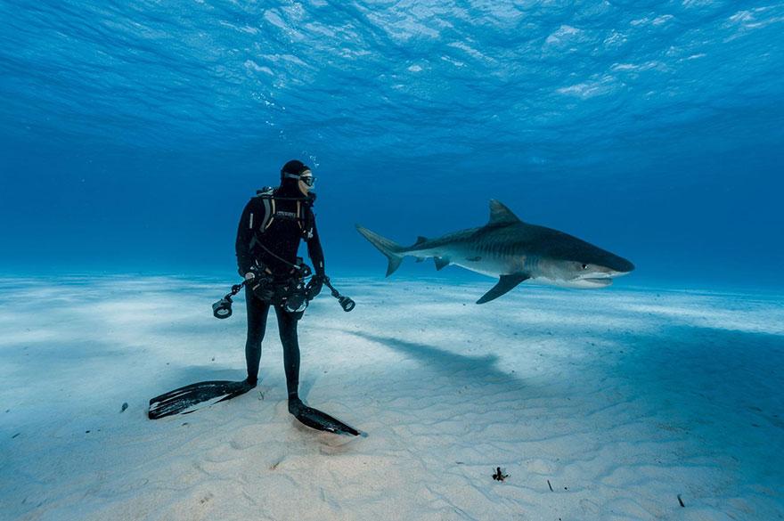 22- یک غواص در فاصله بسیار کم از کوسه شکارچی در باهاما ایستاده است. اما این صحنه چندان خطرناک به نظر نمی رسد: کوسه های تایگر وقتی غواص ها در مقابل آنها قرار می گیرند، شوک شده و به آنها حمله نمی کنند.
