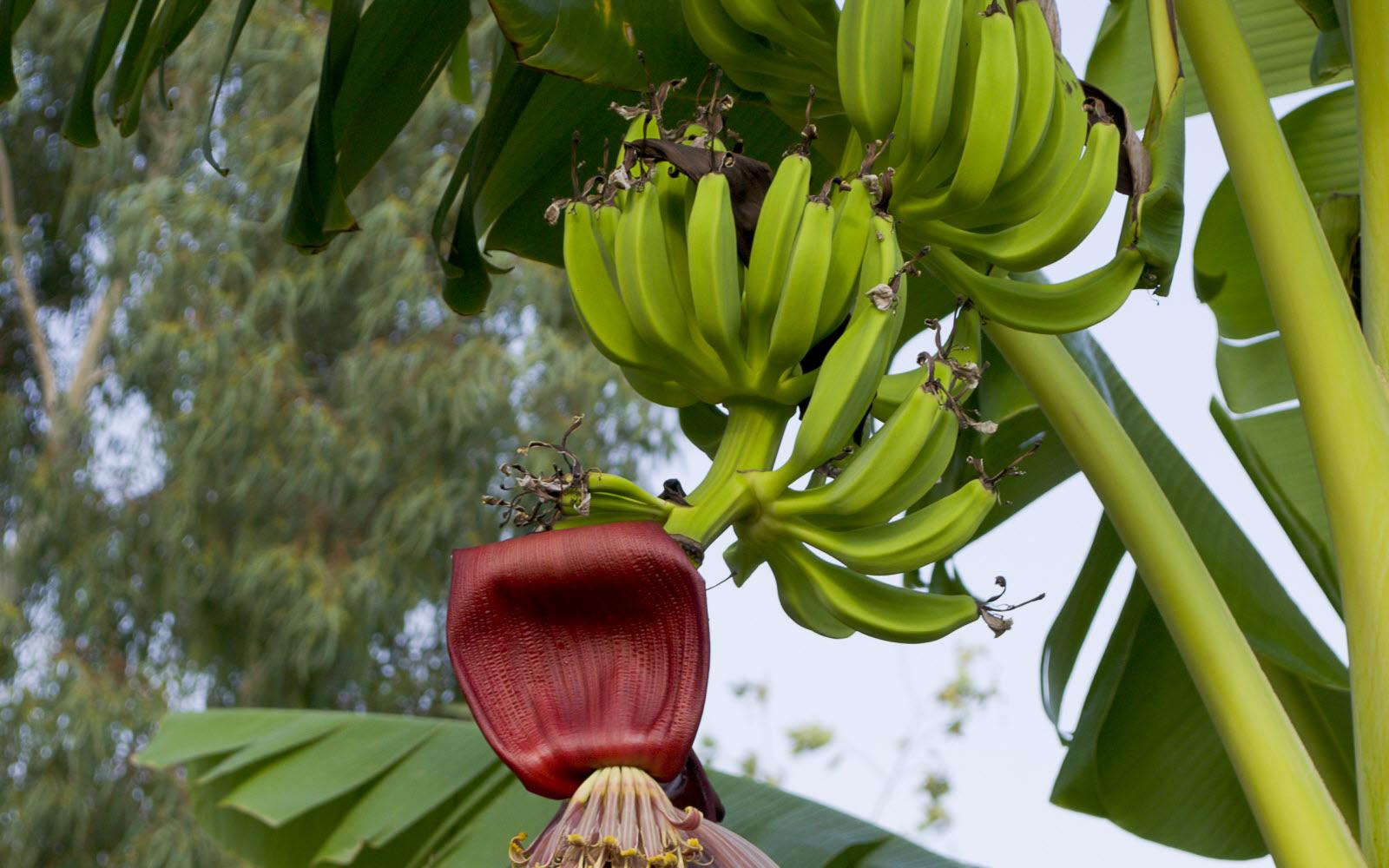 موز به صورت خوشه ای روی درخت رشد می کند.