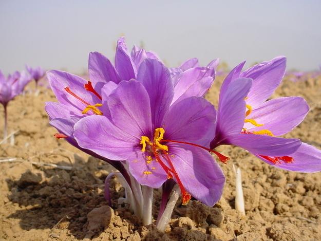 زعفران در واقع پرچم های گل های بنفش است که در فصلی خاص رشد می کند.