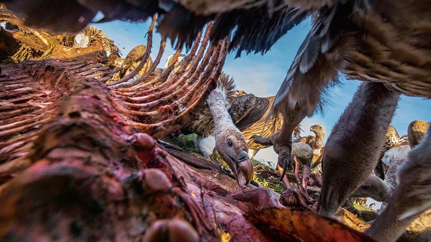 27- لاشخور جوانی در حال خوردن بقایای لاشه گورخر در سرنگتی است. این پرنده ها تا سیر شدن کامل خود از گوشت اجساد تغذیه می کنند و استخوان ها و پوست آن را برای بقیه پرنده ها باقی می گذارند.