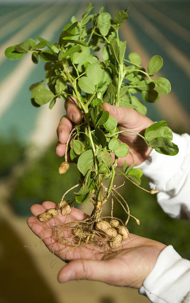 پسته شامی، ریشه یک گیاه است که در دل زمین و داخل پوسته چوبی خود پنهان شده